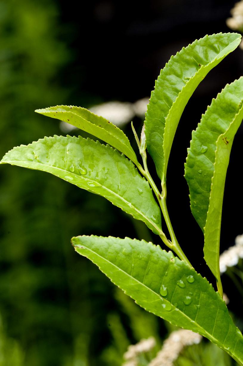 liście herbaty /© Photogenica