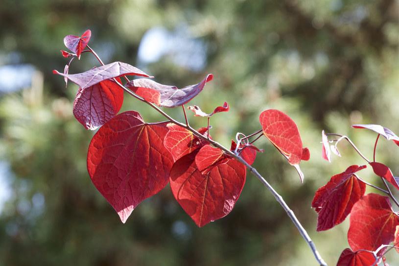Liście judaszowca jesienią /©123RF/PICSEL