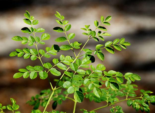 Liście moringi zawierają aż siedem razy więcej witaminy C niż owoce cytrusowe. /Picsel /123RF/PICSEL