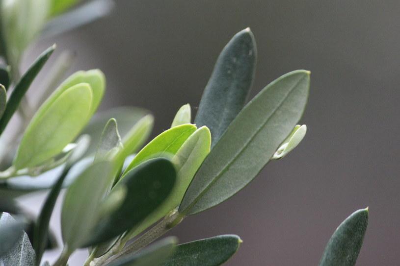 liście oliwne /© Photogenica