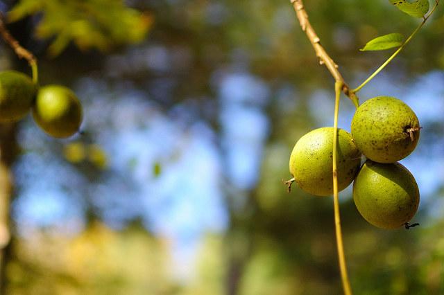 liście orzecha nalewka /© Photogenica