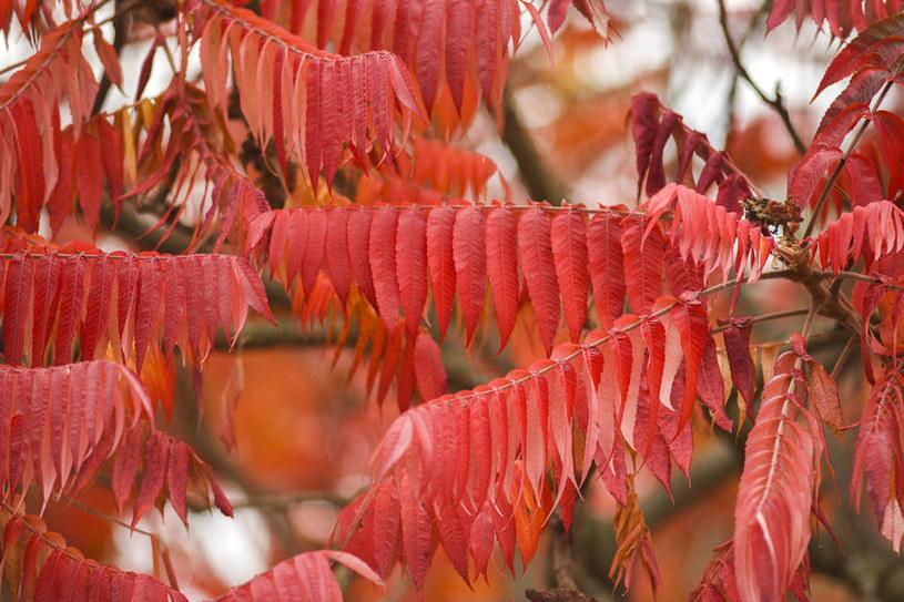 Liście sumaka jesienią /©123RF/PICSEL