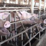 List otwarty: Ponad 140 naukowców wzywa do zakazu hodowli klatkowej