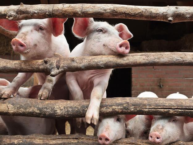 Litwa zaostrza kontrolę wieprzowiny z Polski... /©123RF/PICSEL