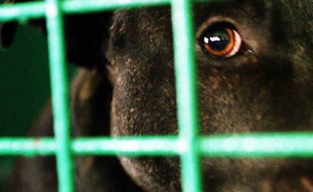 Łódzkie: 10-latka pogryziona przez pitbulla