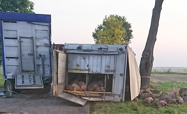 Łódzkie: Wypadek ciężarówki przewożącej świnie