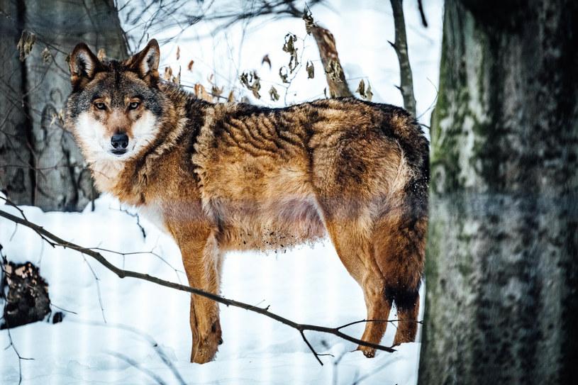 Lokalne władze z Wielkopolski ostrzegają przed wilkami /Piotr Zagiell /East News