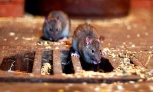 """Londyn: Zaatakowało ją """"morze"""" szczurów"""