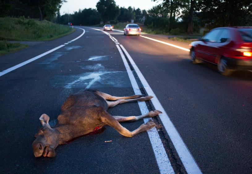 Łosie coraz częściej padają ofiarą kierowców /fot. Andrzej Iwanczuk /East News