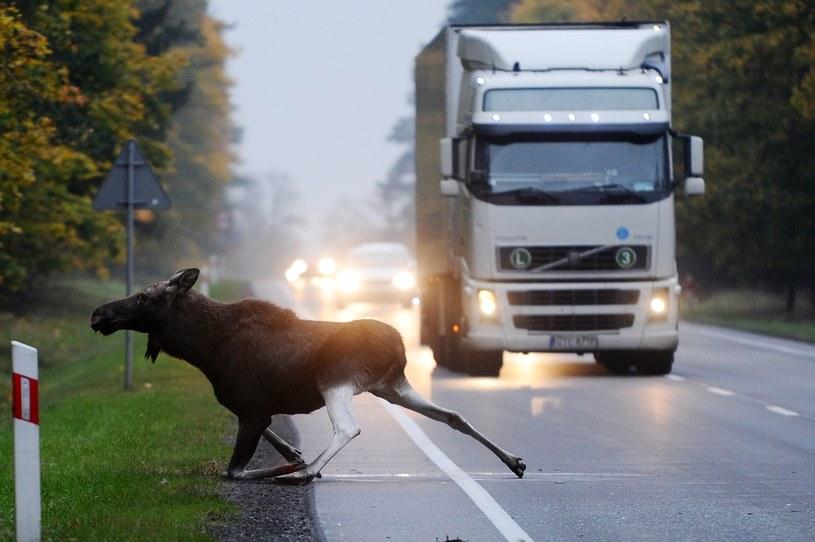 Łosie do duże zwierzęta, które mogą zagrozić pasażerom samochodów osobowych /Marcin Gadomski /Agencja SE/East News