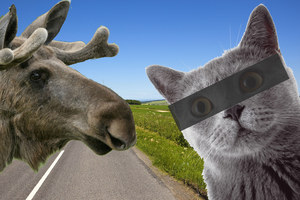 Łosie i... kot na drodze. Rozpanoszyła się nam przyroda proszę państwa
