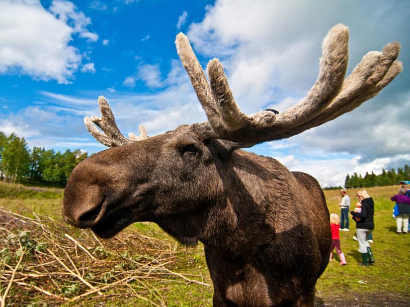 Łosie to skarb narodowy Szwecji  /© Panthermedia