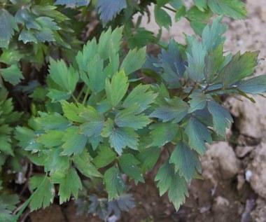 Lubczyk ogrodowy: Właściwości i zastosowania