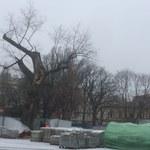 """Lubelski Baobab do wycięcia. """"Drzewo praktycznie umarło"""""""
