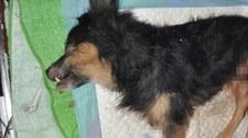 Lubelskie: Pies zakopany żywcem. Właściciel twierdzi, że został skradziony