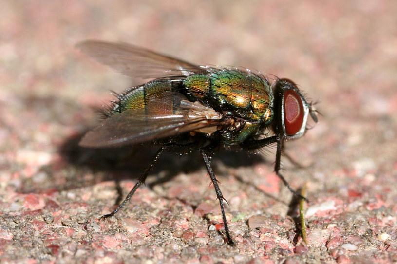 Lucilia sericata - larwy tego gatunku produkują substancje przyspieszające proces gojenia ran /Wikipedia