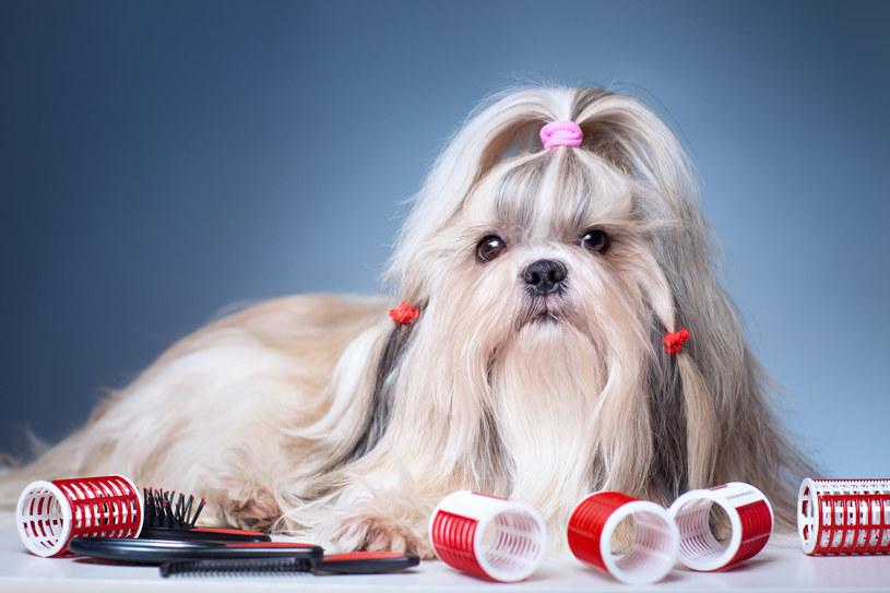 Ludzie mają włosy, a psy sierść, choć w rzeczywistości w obu przypadkach jest to wytwór naskórka zbudowany z keratyny /123RF/PICSEL