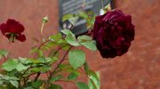 Łukasz Rojewski, hodowca róży imieniem Kościuszki: To bardzo wytrzymały kwiat