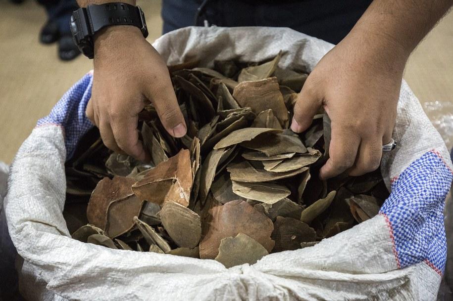 Łuski pangolinów skonfiskowane w Malezji /AHMAD YUSNI /PAP/EPA