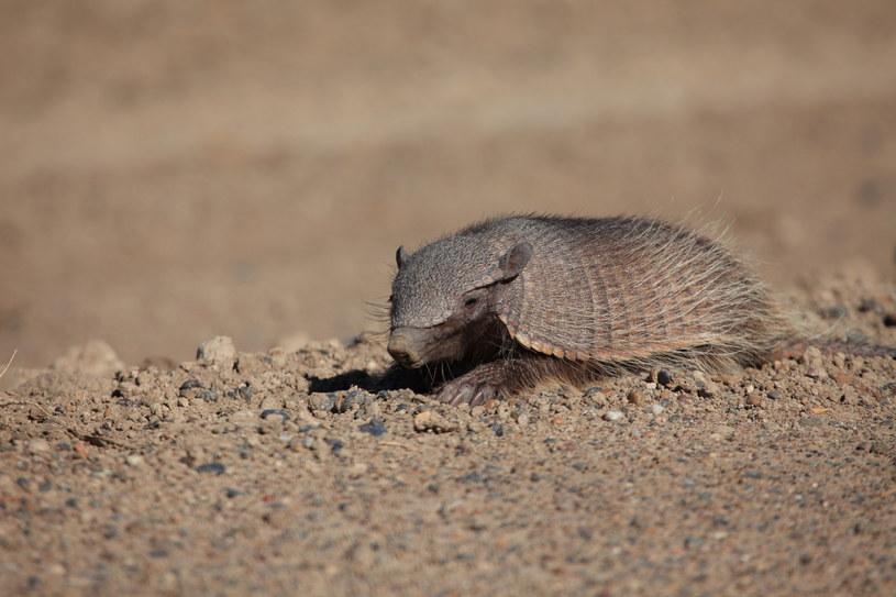 Łuskowce są naturalnie chronione przed koronawirusami /123RF/PICSEL