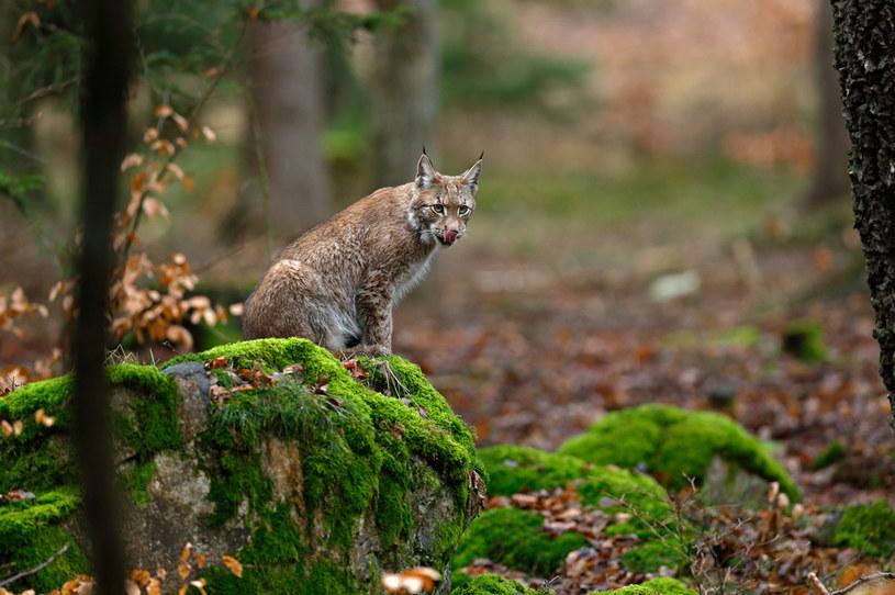 Lutowiska są w 90% porośnięte lasami - żyją w nich m. in. rysie /Picsel /123RF/PICSEL
