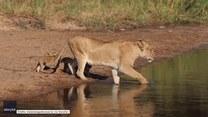 Lwia mama przeprowadziła cztery lwiątka przez rzekę