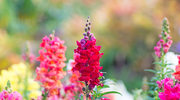 Lwia paszcza - piękne kwiaty o cudownych właściwościach