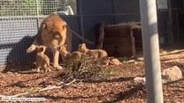 Lwiątka po raz pierwszy poznały dużych przedstawicieli swojej rodziny. Ciężko będzie się od nich odpędzić!