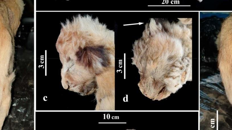 Lwiątka zachowane w doskonałym stanie /materiały prasowe