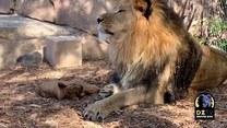 Lwiątko nie daje oddechu rodzicom. Maluch ma ciągle ochotę na zabawę