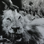 Lwy mogą polować na ludzi przez... jeżozwierze