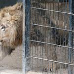 Lwy, tygrysy i jaguar uciekły z niemieckiego zoo