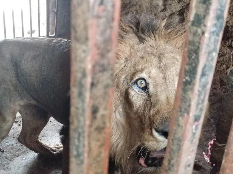 Lwy w zoo w Jemenie (źródło: Friends of Yemen Zoos) /facebook.com