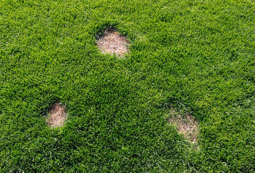 Łyse placki i żółte plamy na trawniku to widok, którego chce uniknąć każdy ogrodnik /123RF/PICSEL