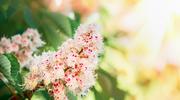 Macerat z kwiatów kasztanowca