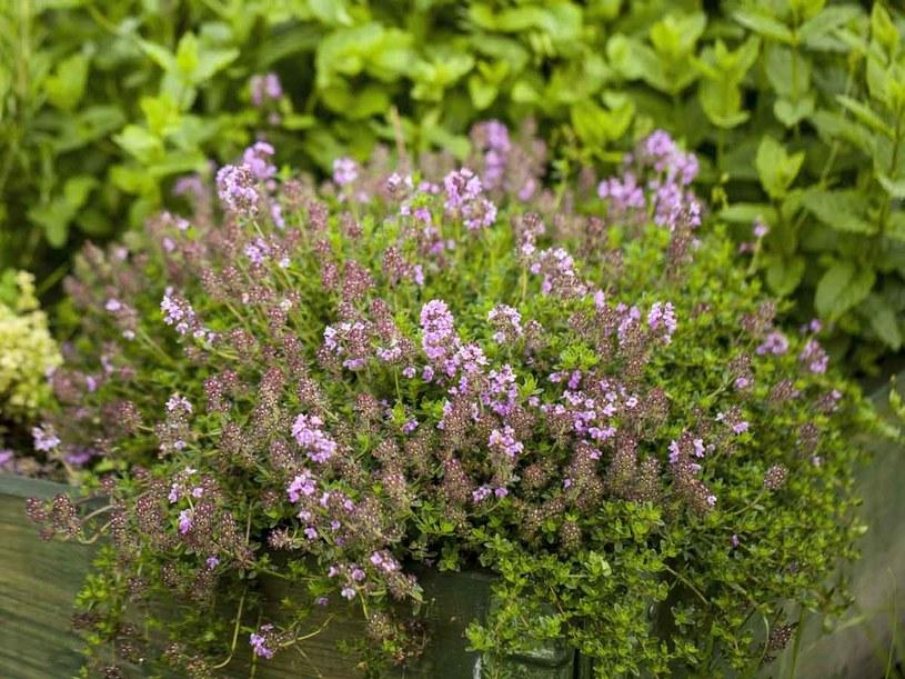 Macierzanka to także wspaniały aromat w kąpieli /123RF/PICSEL