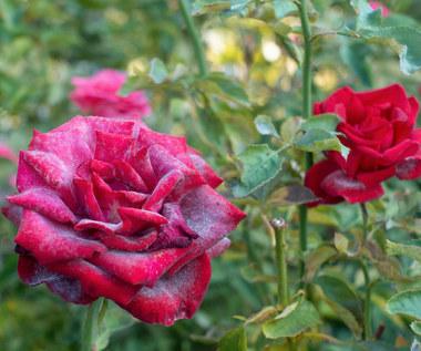 Mączniak atakuje piwonie i róże: Jak zwalczać?