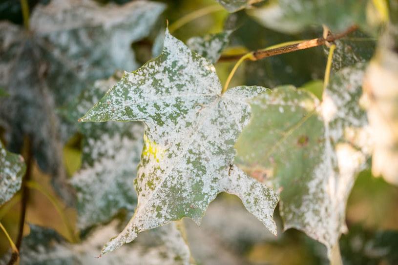 Mączniak na liściach klonu /123RF/PICSEL