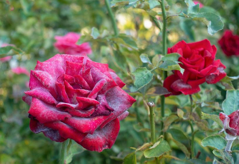 Mączniak prawdziwy często atakuje róże /123RF/PICSEL