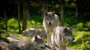 """Mądrość wilków"" Elli H. Radinger - fragment książki"