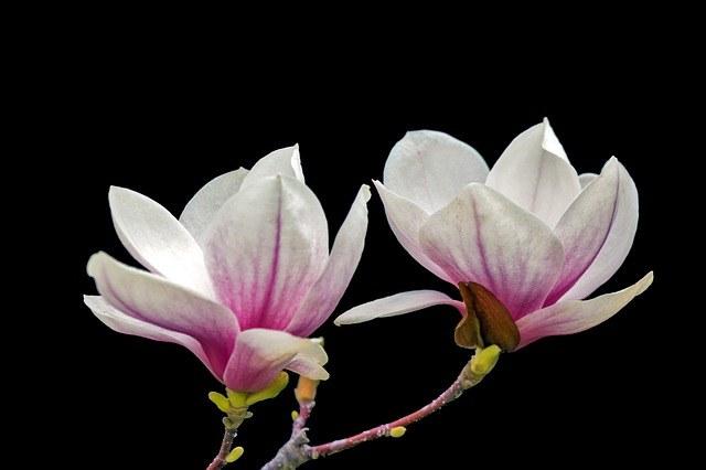 Magnolia na włosy /© Photogenica