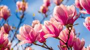 Magnolia nie tylko pięknie wygląda. Działa też uspokajająco i wspomaga pamięć