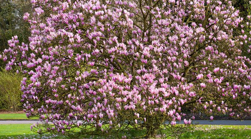 Magnolia osiąga imponujące rozmiary /123RF/PICSEL
