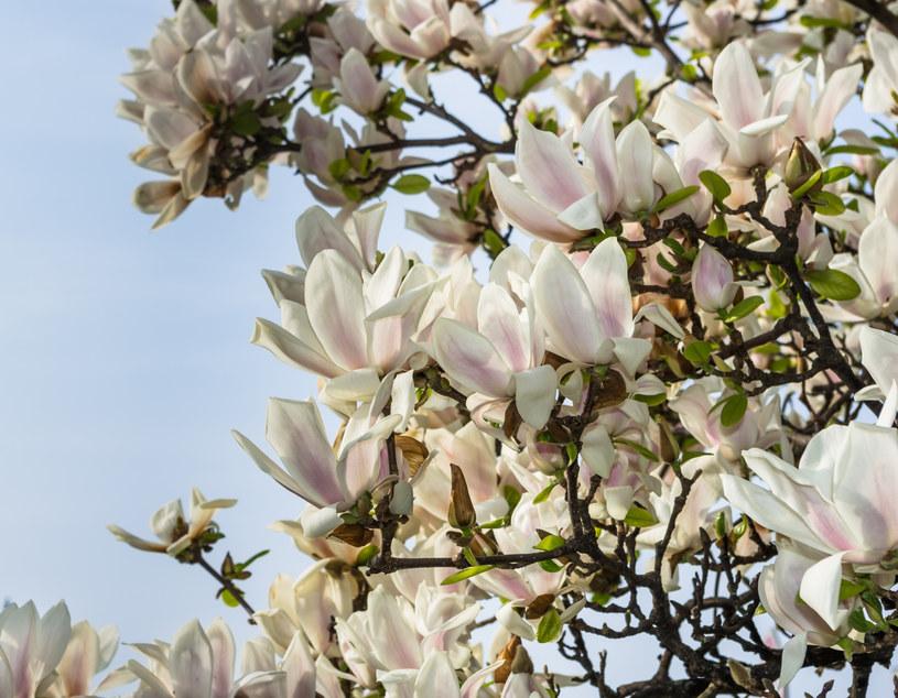 Magnolia osiąga rozmiar drzewa /123RF/PICSEL