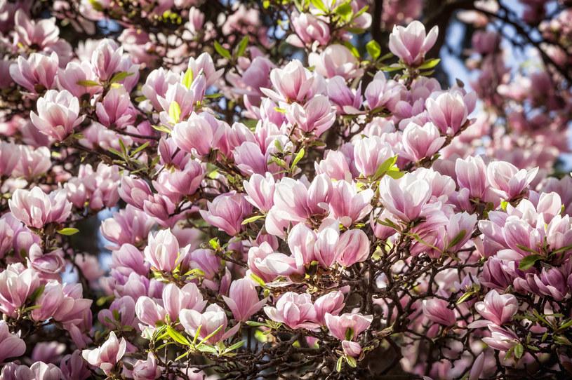 Magnolia pięknie i bujnie kwitnie /123RF/PICSEL
