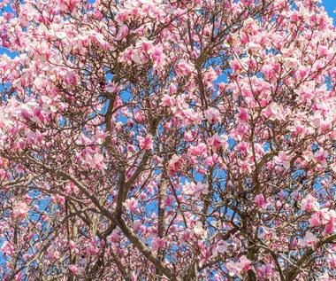 Magnolia: Warunki uprawy i pielęgnacja