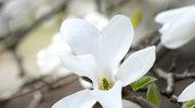 Magnolie: można je hodować na balkonie