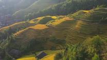 Majestatyczne ujęcia złocistych wzgórz porośniętych ryżem w chińskiej prowincji Kuangsi