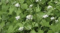 Majowe zioła - jak je wykorzystać?