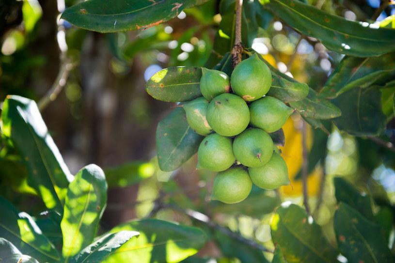 Makadamia na drzewie /©123RF/PICSEL